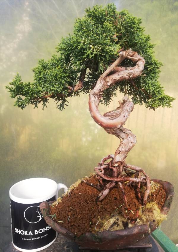 Beautiful Twisting Chinese Juniper in shell pot