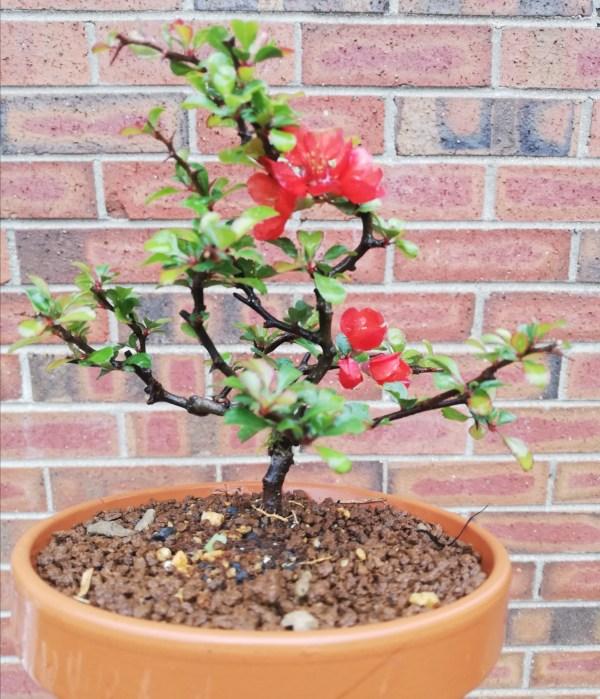 chojubai flowering bonsai