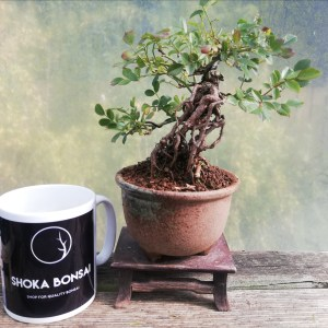 Dwarf Rose Bonsai Tree