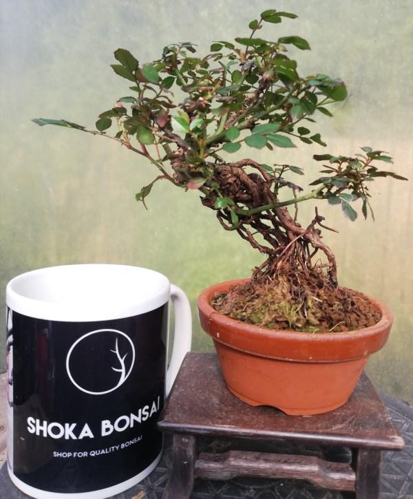 Dwarf Rose Bonsai Negari Style