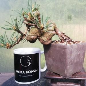 Pinus Sylvestris semi cascade Shohin Bonsai tree