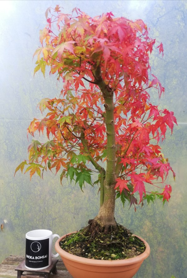 Large Acer Palmatum/Japanese Maple Katsura bonsai in training