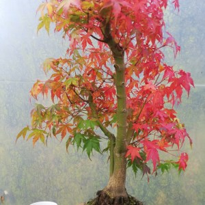 Large Acer Palmatum/Japanese Maple Katsura bonsai in training