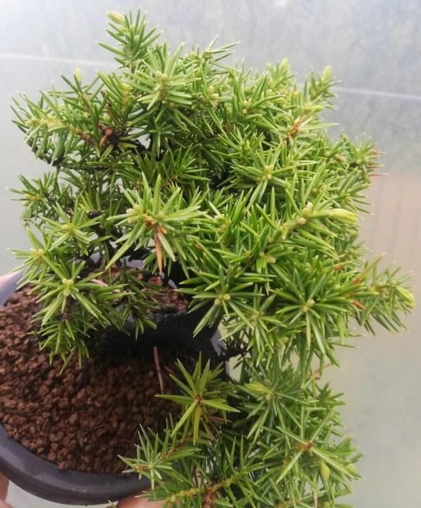 Juniper Rigida Bonsai Tree