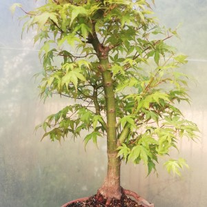 Japanese Maple Katsura Bonsai in training