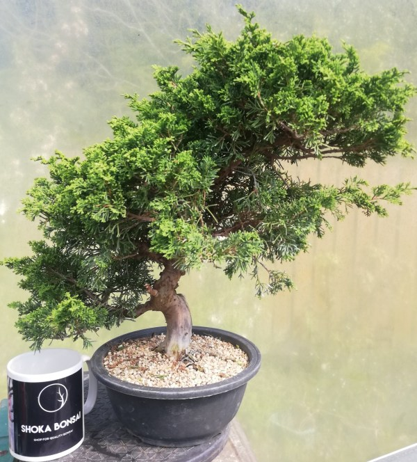 Large Juniper Itiogawa Bonsai Tree