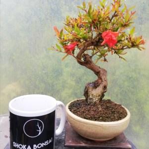 Pomegranate Flowering Bonsai Tree