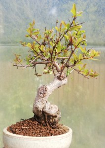 Pomegranite shohin Bonsai tree