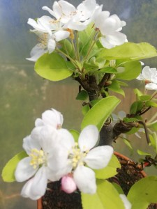 Crab Apple Malus Halliana Shohin Bonsai Tree