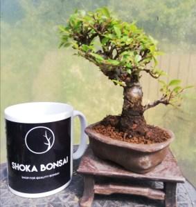 Cork Bark Chinese Elm Bonsai