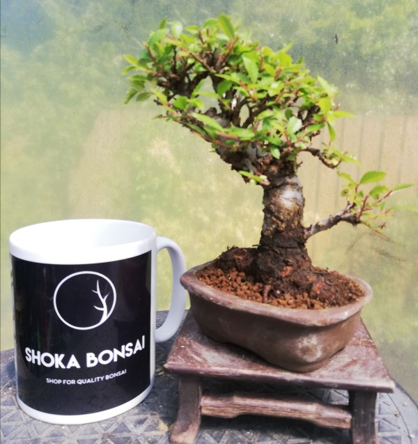 Cork Bark Chinese Elm Bonsai