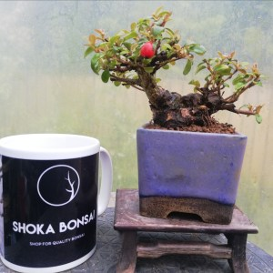 Cotoneaster Small Flowering Bonsai Tree