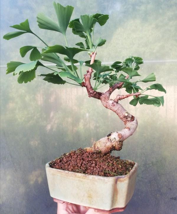 Ginkgo Biloba Bonsai Tree