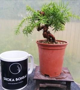 Cryptomeria Japanese Cedar Mini Bonsai in training