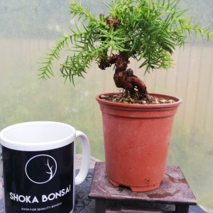 Cryptomeria Japanese Cedar Mini Bonsai in training