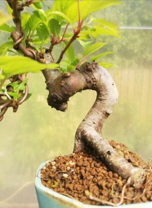 Japanese Crab Apple shohin Bonsai Tree