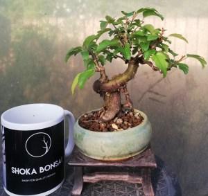 Japanese Crab apple shohin bonsai