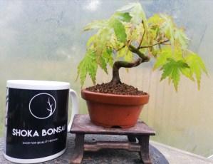 Mini Japanese Maple Bonsai