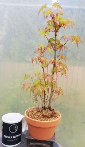 Japanese Maple Small group/forest Bonsai