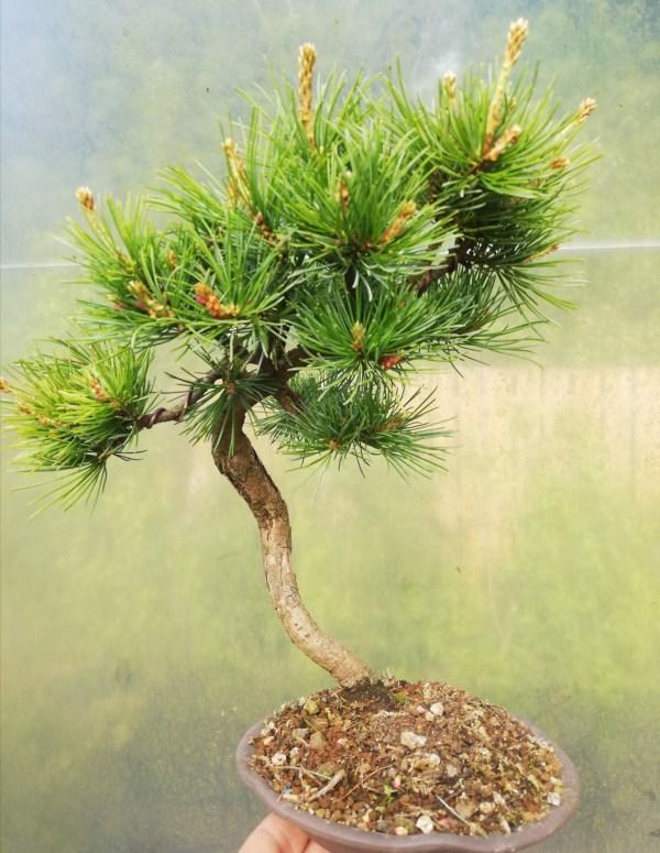 Japanese White Pine Bunjin Style Bonsai