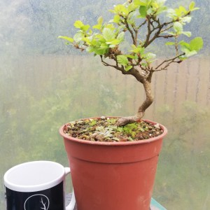 Korean Hornbeam Bonsai Tree