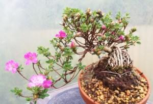 Satsuki Azalea shohin Bonsai Tree