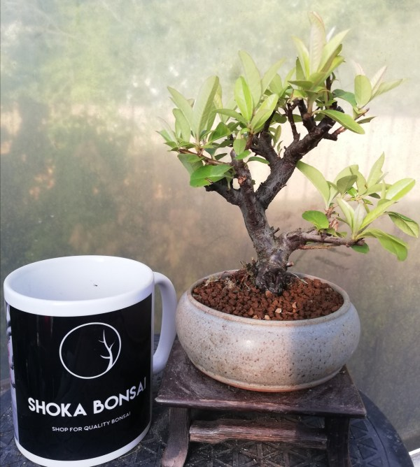 Pyracantha shohin bonsai