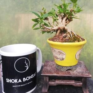 Mini Weigela flowering Bonsai Tree