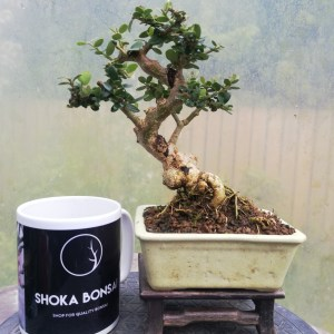 Wild Olive shohin Bonsai Tree