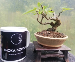 Mini Fig Bonsai tree
