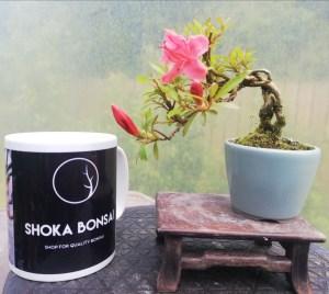 Mini Satsuki azalea Bonsai