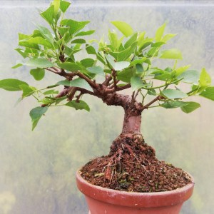 Prunus Mahaleb Bonsai Tree