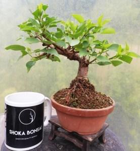 Prunus Mahaleb Bonsai Tree