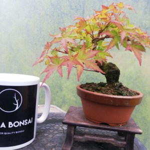 Mini Japanese Maple Bonsai Tree