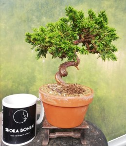Chinese Juniper Itiogawa Shohin Bonsai Tree in training
