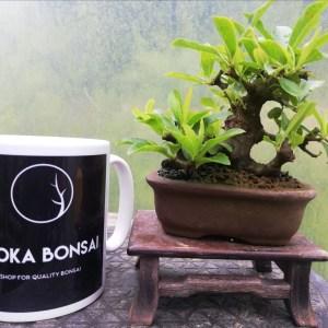 Mini Pyracantha Bonsai Tree