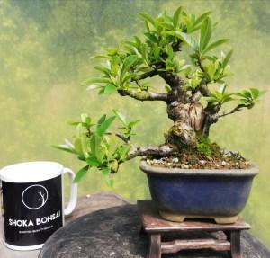 Shohin Pyracantha Flowering Bonsai Tree
