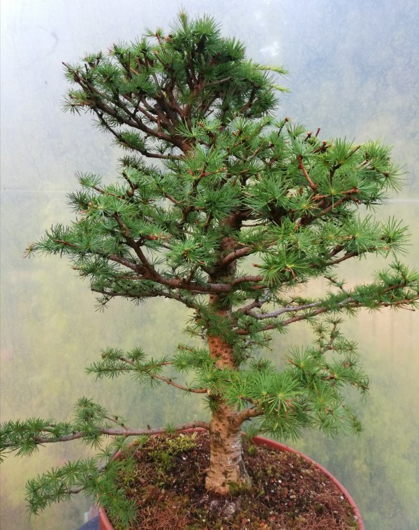 Large European Larch Bonsai Material