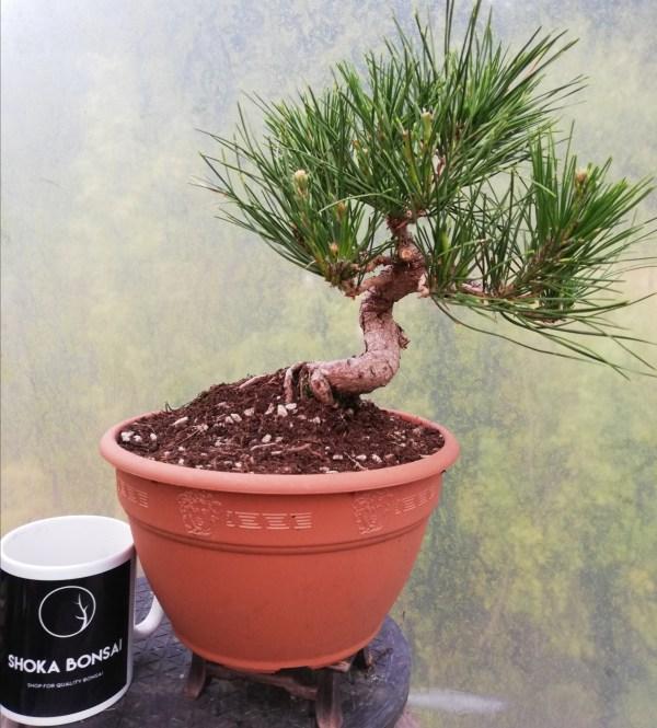 Japanese Black Pine pre-Bonsai