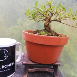 Satsuki azalea Bonsai in training