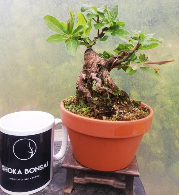 Rhododendron Luteum/ Deciduous Azalea Bonsai tree in training