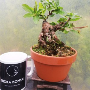 Rhododendron Luteum/ Deciduous Azalea Bonsai tree in training