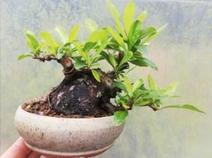 Shohin Sumo Pyracantha Firethorn Bonsai