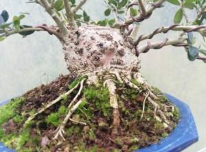Wild Olive Oleaster Sumo Bonsai Tree material