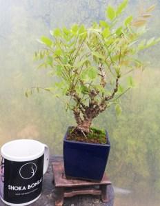 Unique Shohin Wisteria Bonsai Tree