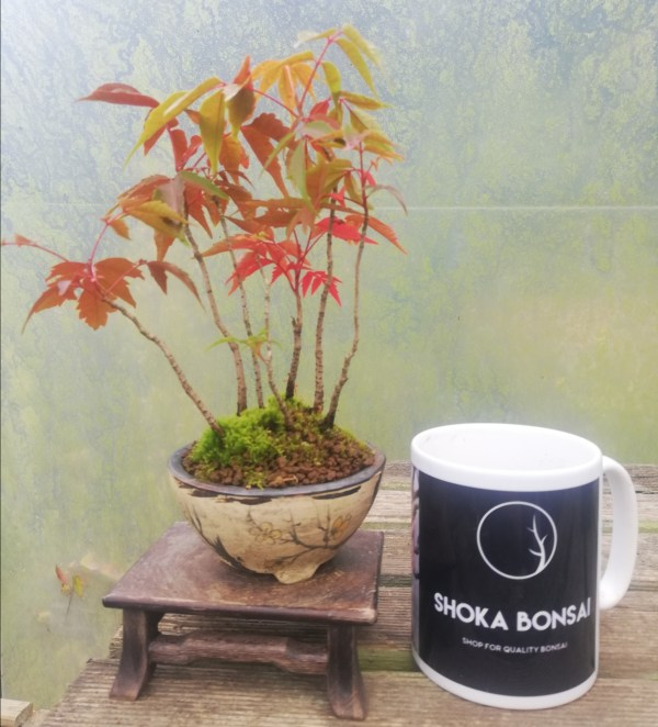 Dwarf Rhus Bonsai group