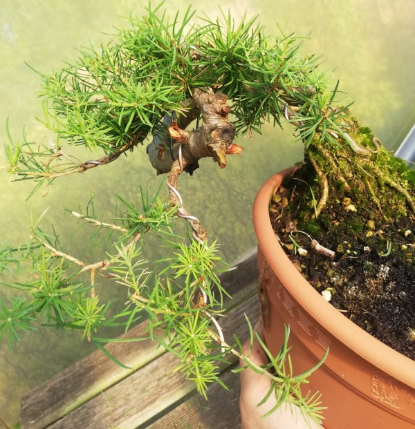 European Larch Bonsai in Training