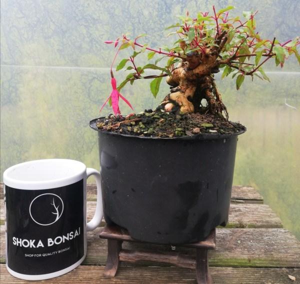 Fuschia Riccartoni flowering Bonsai