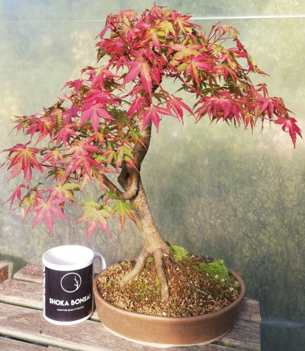 Japanese Maple Unique Bonsai Tree