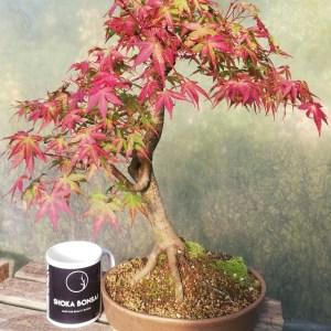 Japanese Maple Unique Bonsai Tree